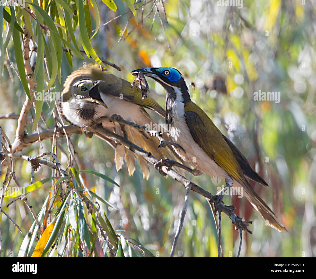 blue-faced-honeyeater-entomyzon-cyanotis