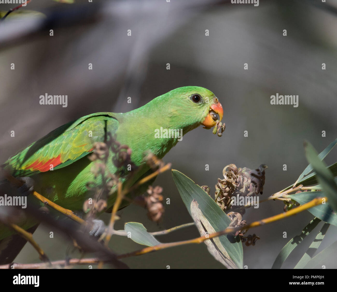 red-winged-parrot-or-crimson-winged-parr