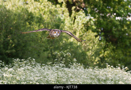 Eurasian eagle-owl flying over a field of white flowers in summer in English countryside - Stock Image