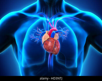 Human Heart Anatomy - Stock Image