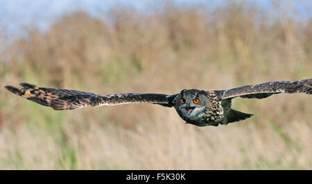 Eurasian eagle-owl / European eagle owl (Bubo bubo) flying over meadow - Stock Image