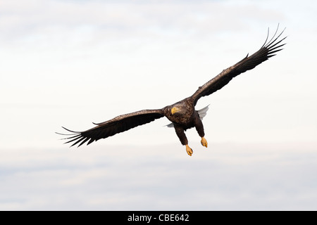 White-tailed Eagle (Hailaeetus albicilla), Northern Europe - Stock Image