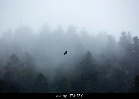 Eagle flying over misty forest - Stock Image