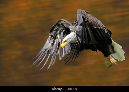 American bald eagle (Haliaeetus leucocephalus), flying, Canada - Stock Image
