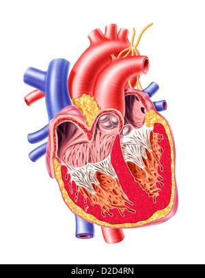 Human heart cut-away computer artwork - Stock Image