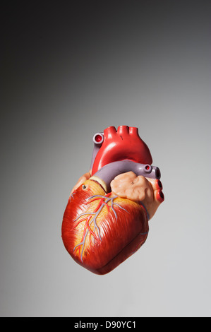 Anatomical model of human heart - Stock Image