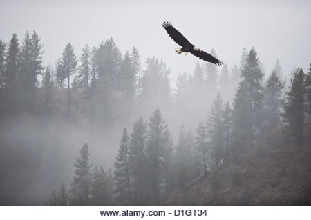 Bald eagle (Haliaeetus leucocephalus) flying over the trees, Coeur d'Alene Lake, Idaho, United States of America, - Stock Image