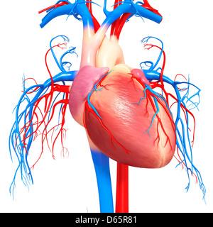 Human heart, artwork - Stock Image
