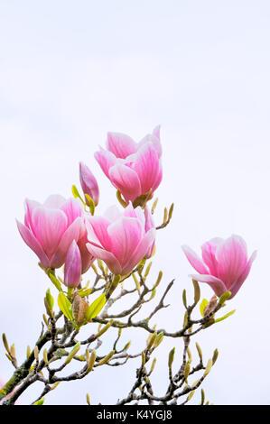 Chinese Magnolia (Magnolia x soulangeana) Amabilis culture form, Germany - Stock Image
