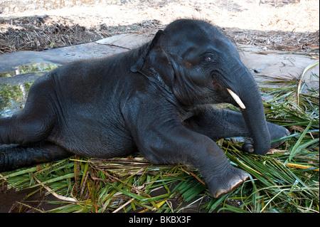 Baby Elephant, Kerala, India - Stock Image