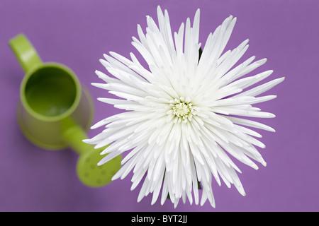 White Chrysanthemum overhead - Stock Image