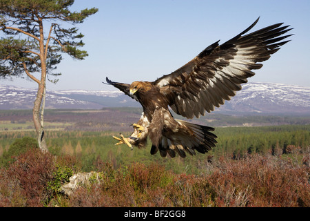 Golden Eagle (Aquila chrysaetos), in flight in mountain habitat preparing to land on stump (taken in controlled - Stock Image