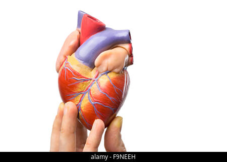 Fingers showing model of human heart isolated on white background - Stock Image