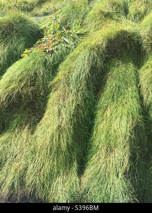 Grass tufts - Stock Image