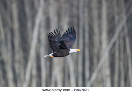An adult bald eagle (Haliaeetus leucocephalus) flies past bare winter trees along the Nooksack River near Welcome, - Stock Image