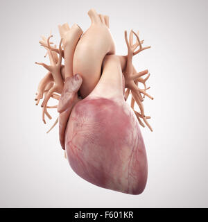 medically accurate illustration of the human heart - Stock Image