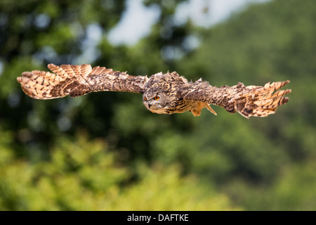 Eurasian Eagle-owl (Bubo bubo) flying through French countryside - Stock Image