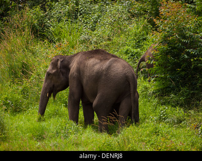 Wild Elephants Kerala - Stock Image