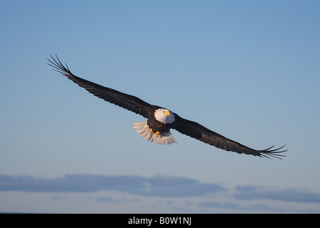 Bald eagle - flying / Haliaeetus leucocephalus - Stock Image