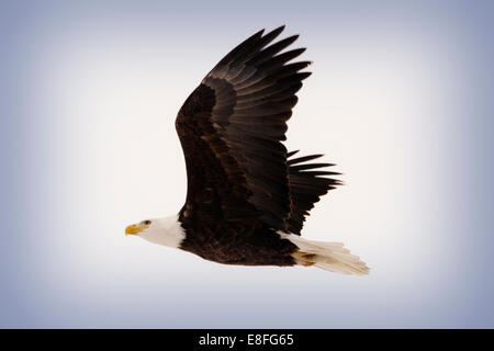 Bald Eagle in Flight, Colorado - Stock Image