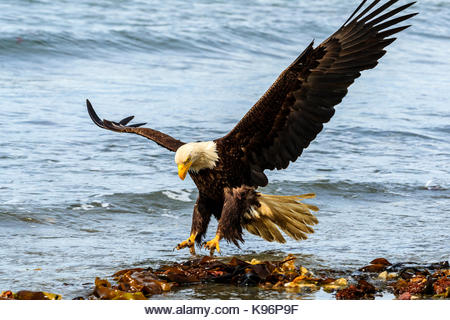 Bald Eagle, Haliaeetus leucocephalus, fishing along the shoreline in Cook Inlet, Alaska. - Stock Image