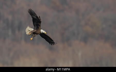 Bald Eagle - Stock Image