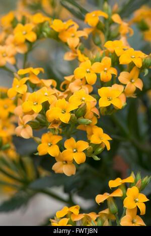 Kalanchoe 'African Queen' flowers - Stock Image
