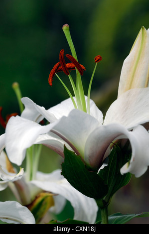 Trumpet Aurelian hybrid lily african queen flower bloom blossom white upward facing open flowers - Stock Image