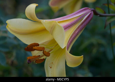 African Queen Daylily - Stock Image
