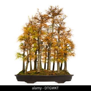 Golden larch bonsai tree, Pseudolarix amabilis, against white background - Stock Image