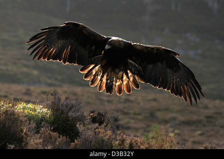 Golden Eagle in Scottish Highlands - Stock Image