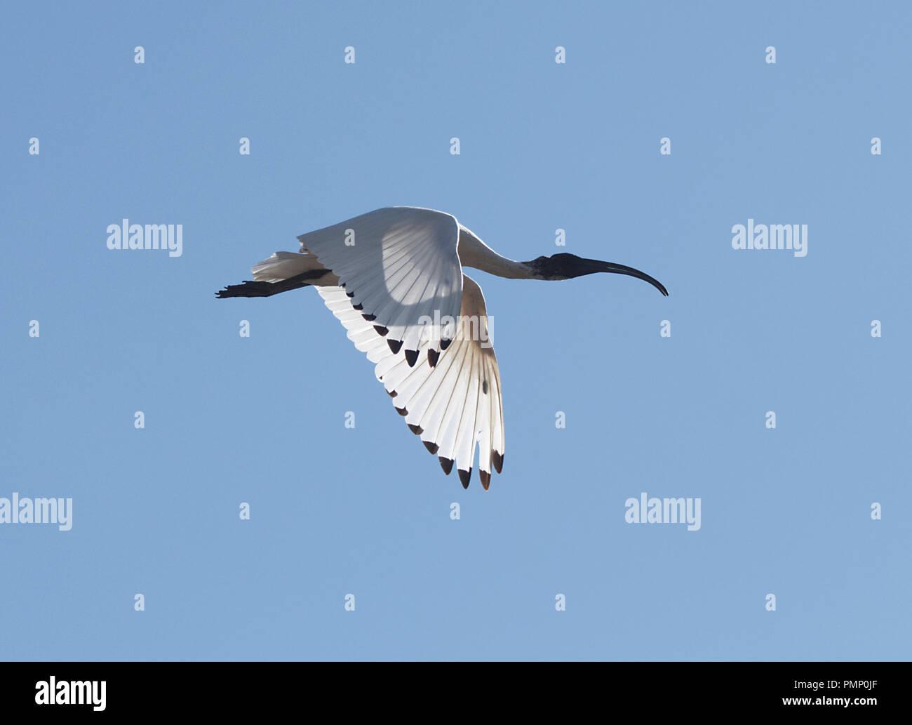 australian-white-ibis-threskiornis-moluc