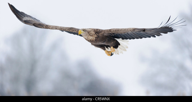 white-tailed eagle (haliaeetus albicilla), feldberger seenlandschaft, mecklenburg-vorpommern, germany - Stock Image