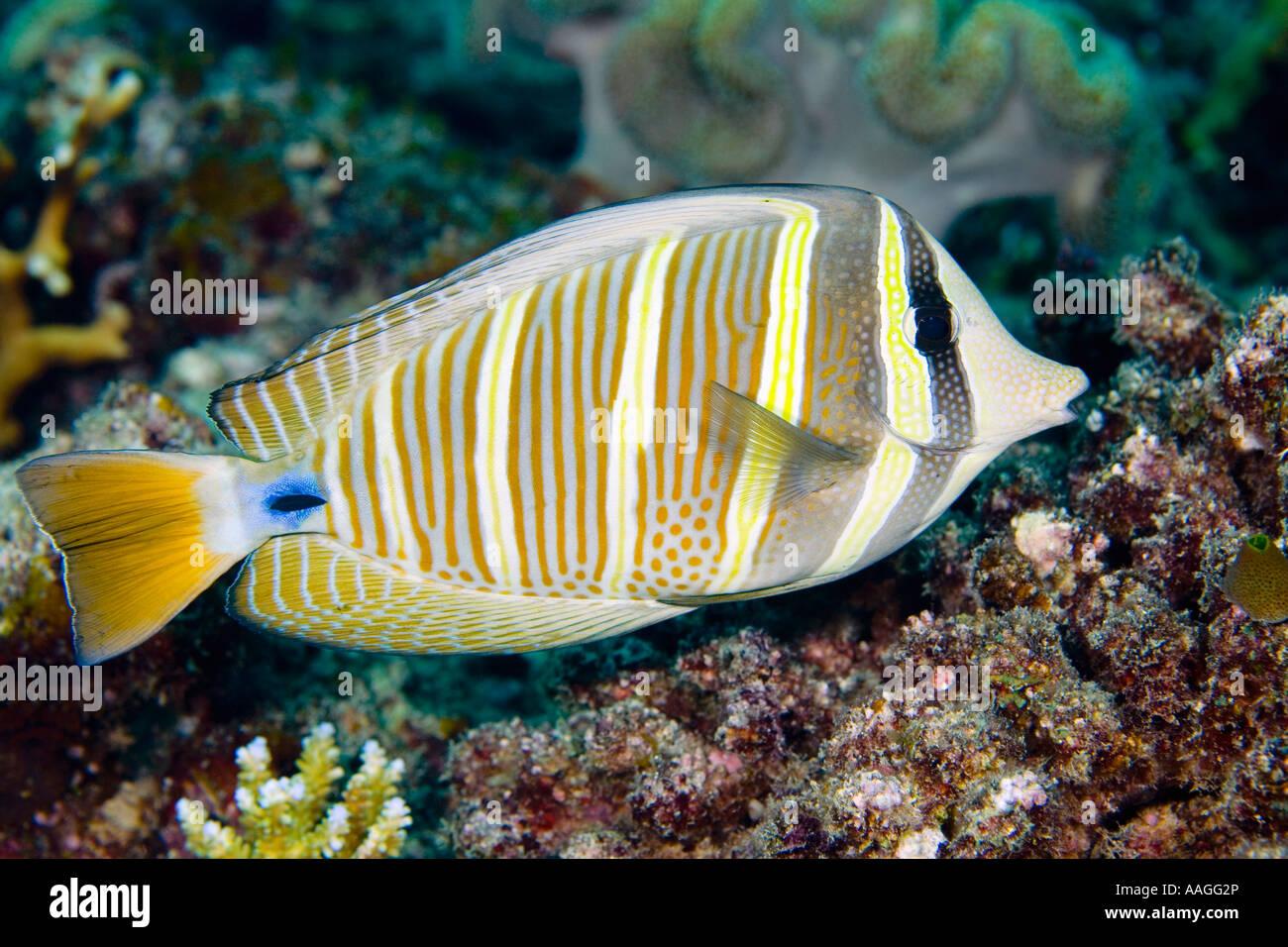 sailfin-surgeonfish-or-sailfin-tang-zebrasoma-veliferum-AAGG2P.jpg