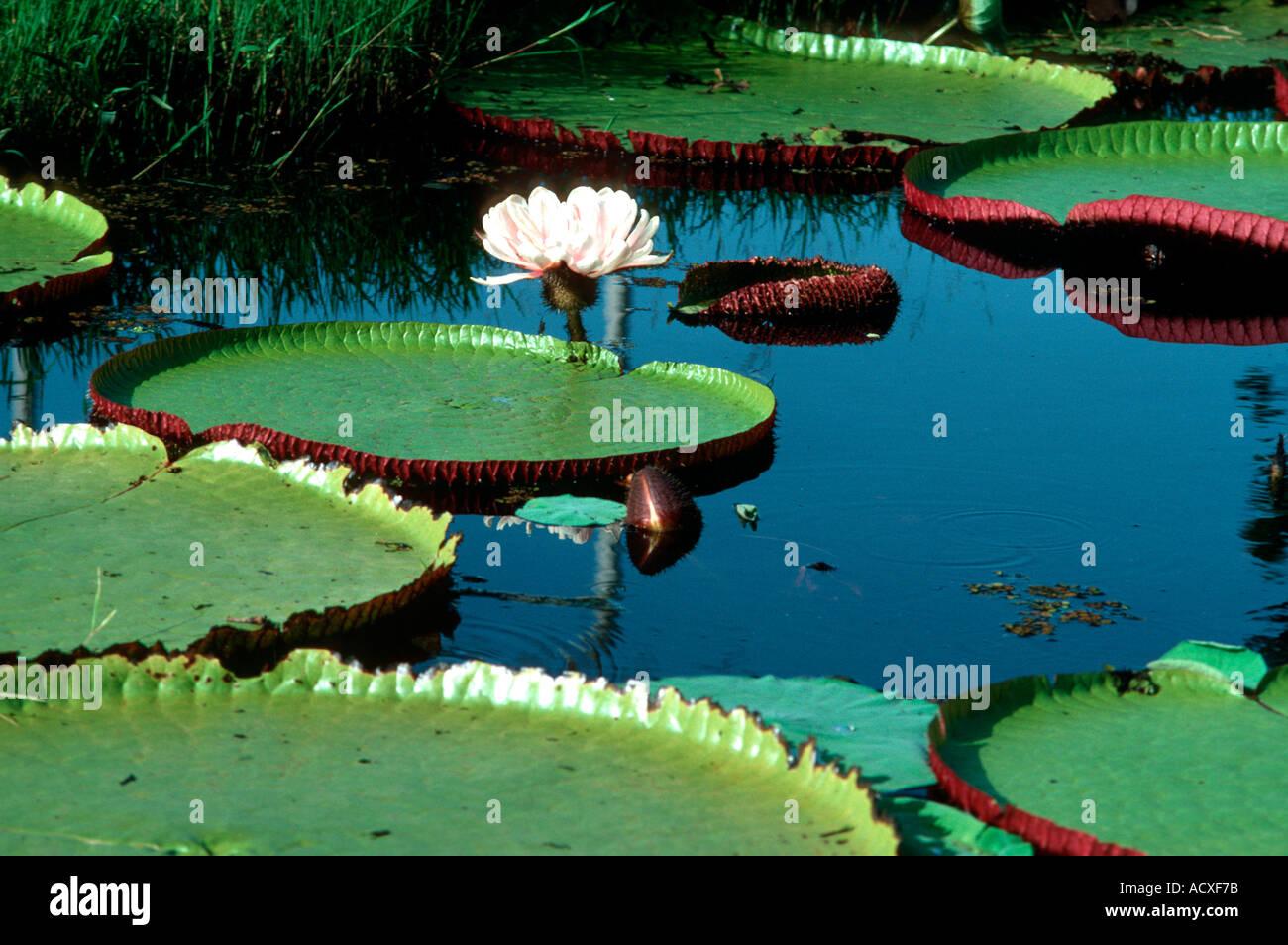 giant-water-lilly-vitoria-regia-victoria