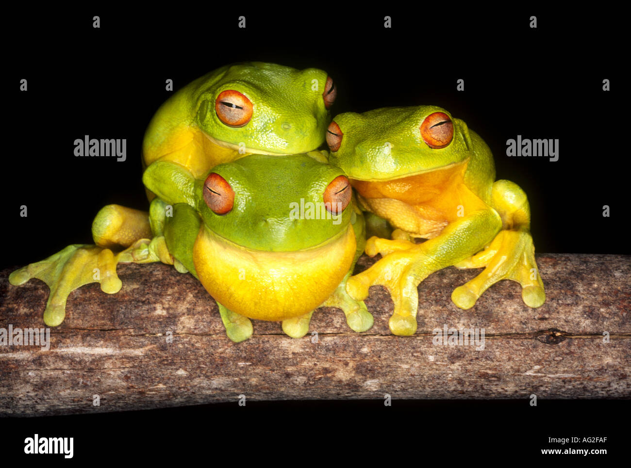 three-red-eyed-tree-frogs-litoria-chloris-these-frogs-gather-to-mate-AG2FAF.jpg