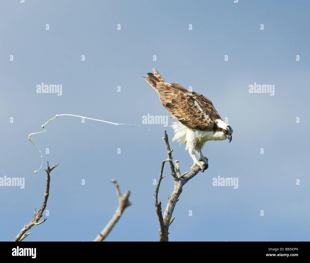 osprey-pandion-haliaetus-everglades-flor