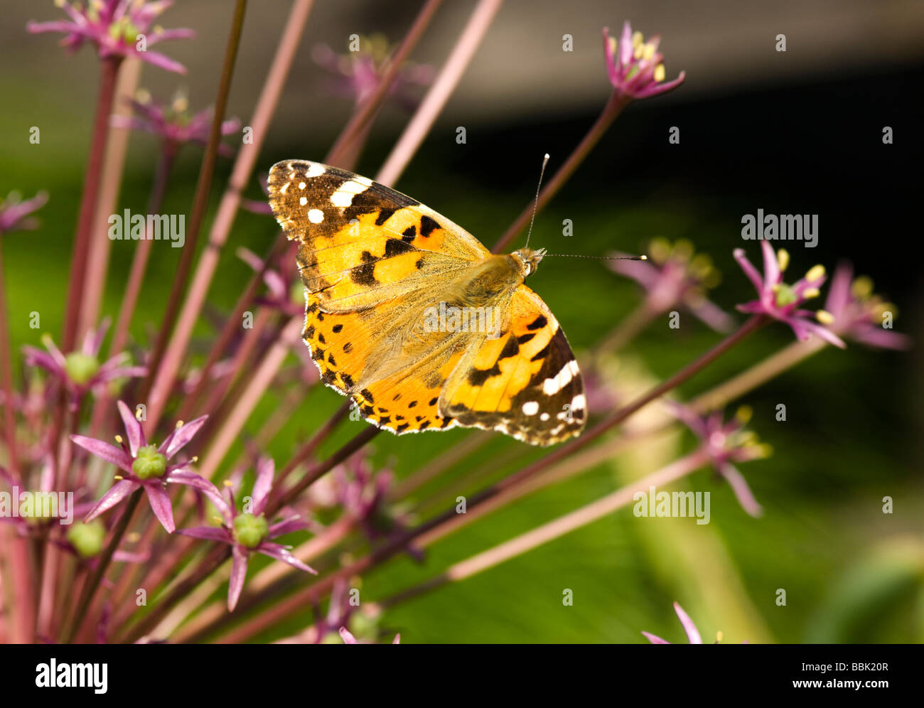 painted-lady-butterfly-surrey-uk-BBK20R.