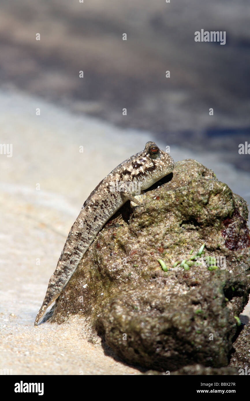 sliverlined-mudskipper-also-known-as-barred-mudskipper-periophthalmus-BBX27R.jpg
