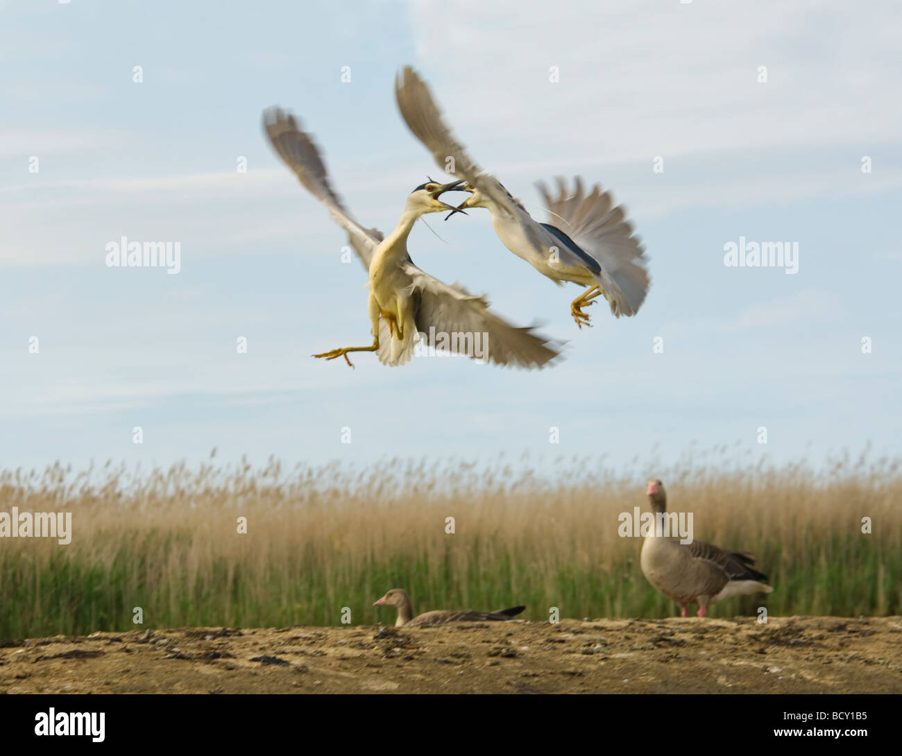 black-crowned-night-herons-fighting-nyct