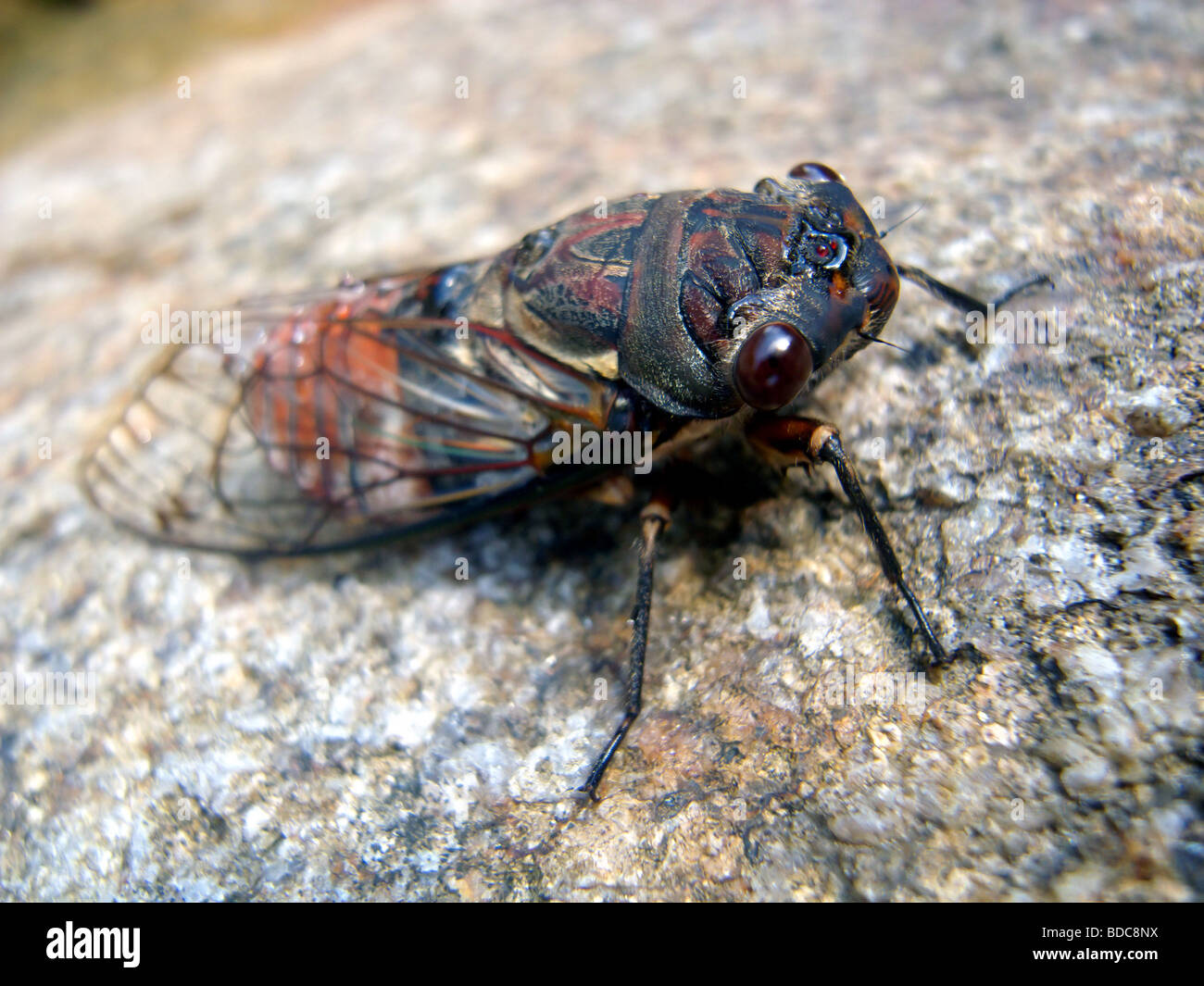 Australia's largest cicada, the double drummer cicada (Thopha saccata), female, north Queensland Stock Photo