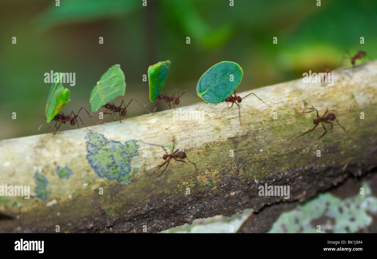 leaf-cutter-ants-carrying-leaves-soberan