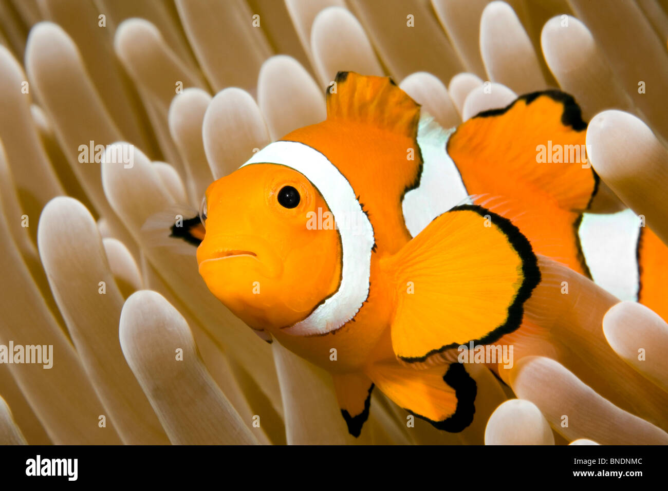 a-clown-anemonefish-in-the-tentacles-of-