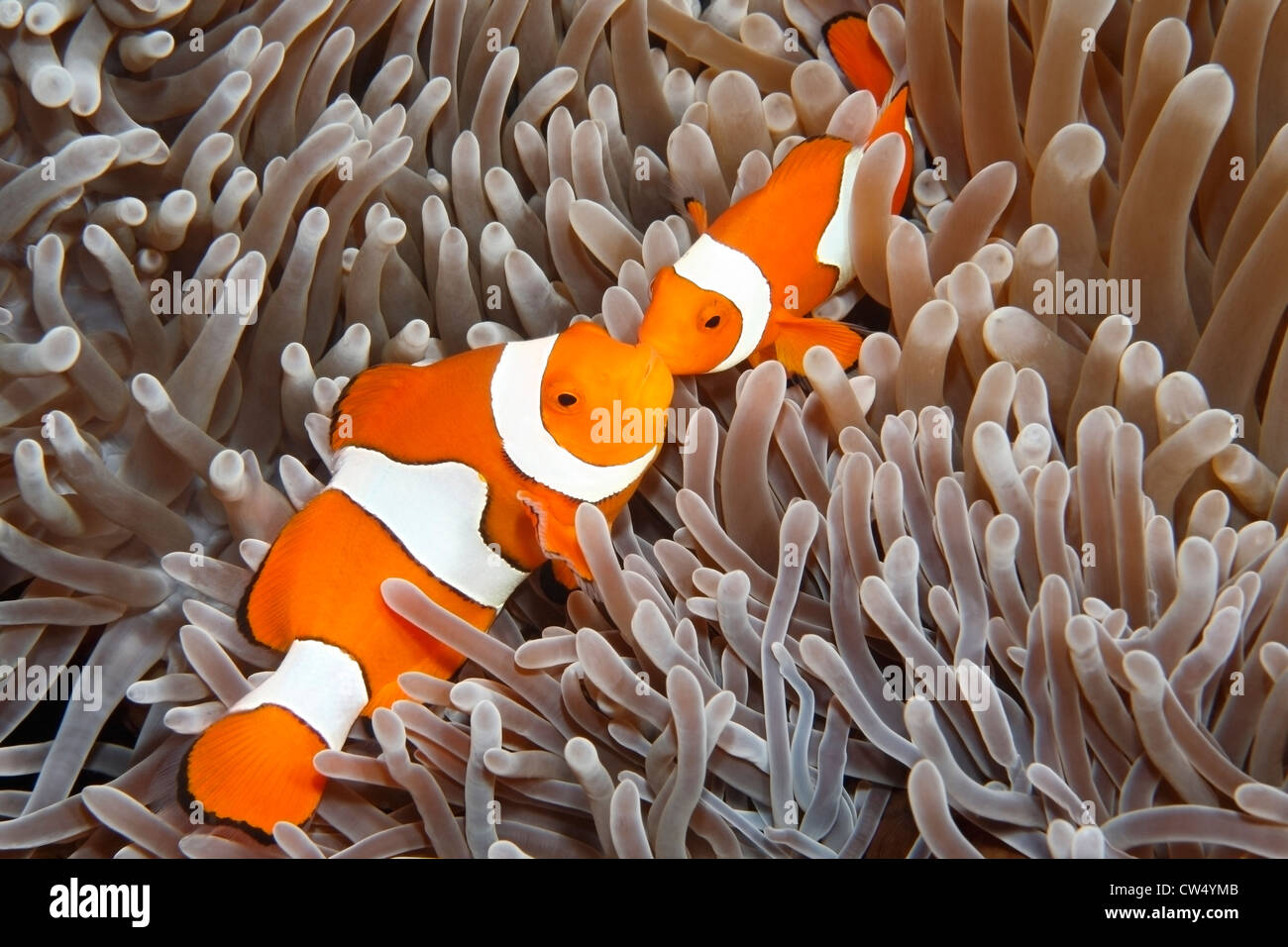 clown-anemonefish-amphiprion-percula-in-their-sea-anemone-CW4YMB.jpg