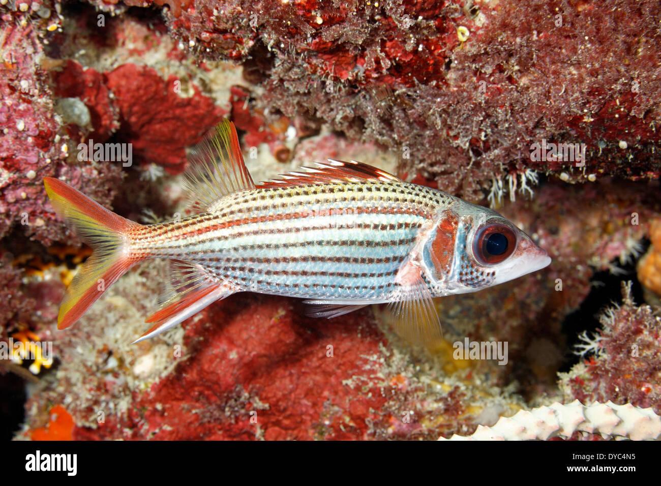 spotfin-squirrelfish-neoniphon-sammara-DYC4N5.jpg