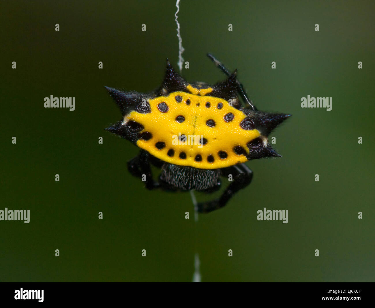 crablike-spiny-orb-weaver-gasteracantha-
