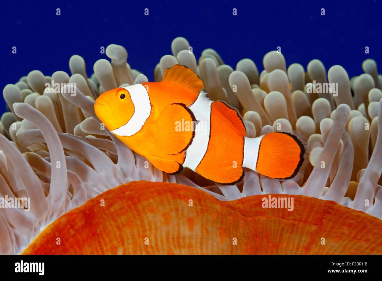 clown-anemonefish-amphiprion-percula-swimming-among-the-tentacles-F2BRHB.jpg