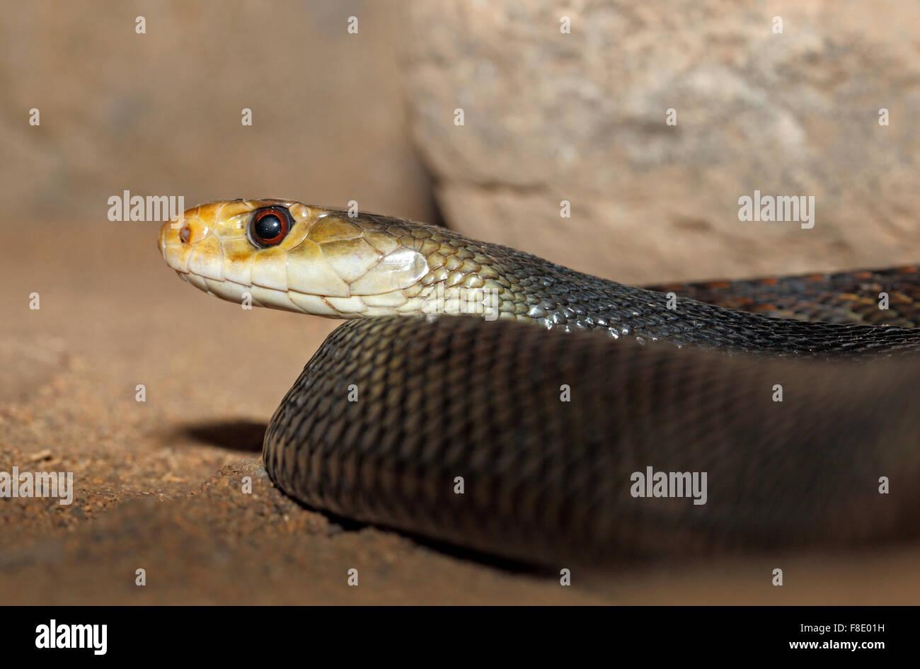 the-coastal-taipan-snake-oxyuranus-scutellatus-found-in-australia-F8E01H.jpg