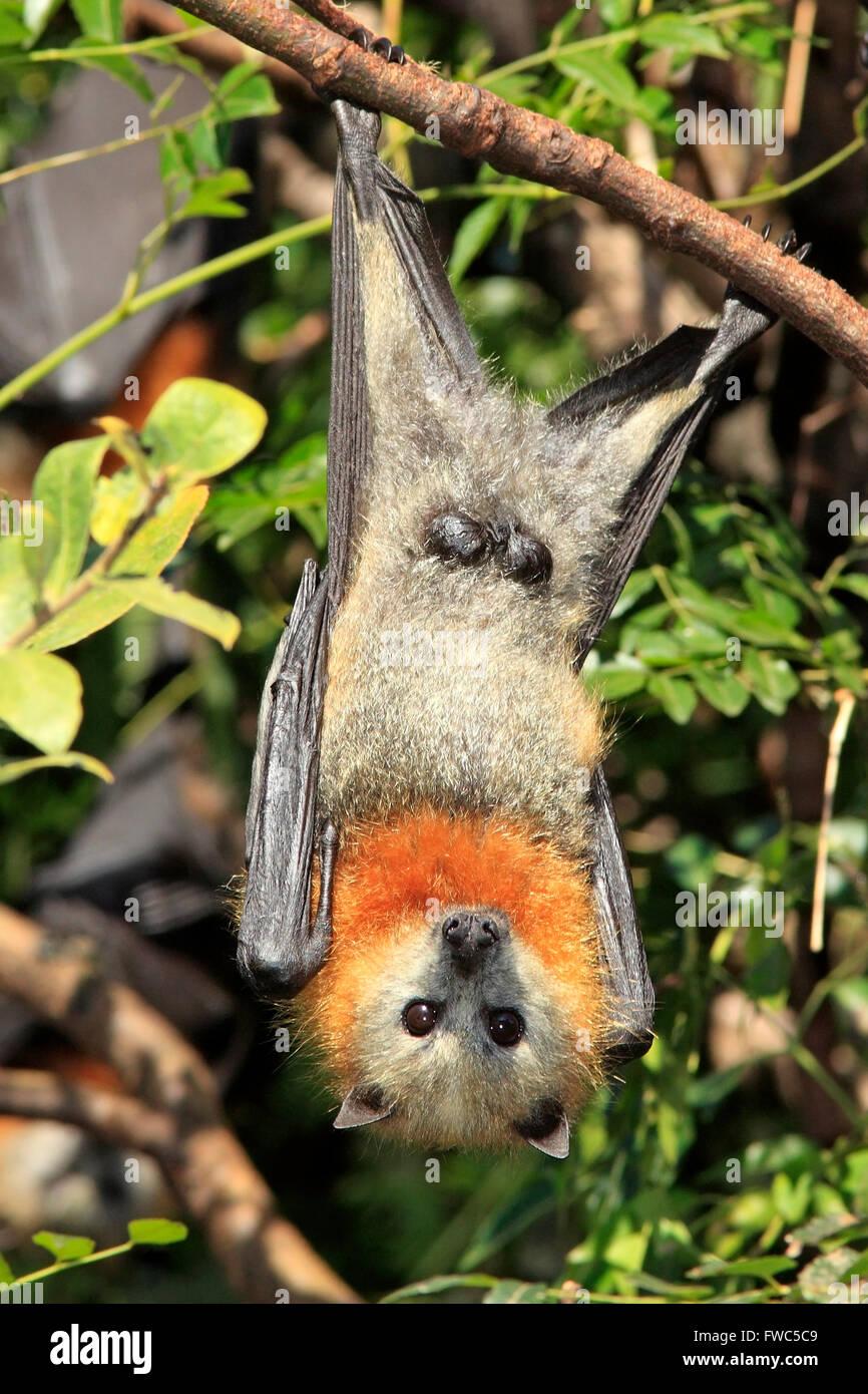 grey-headed-flying-fox-pteropus-poliocephalus-male-showing-genitals-FWC5C9.jpg