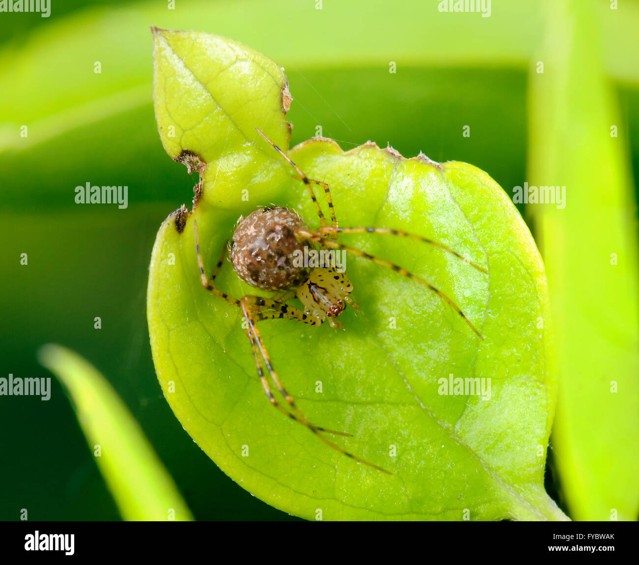 pirate-spider-australomimetus-sp-new-sou